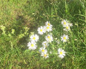 Daisies for Daisy