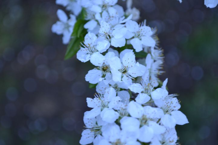 Plum Blossoms. - Skye's Drawings
