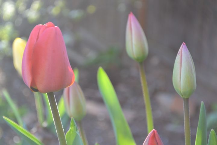 tulips - Skye's Drawings