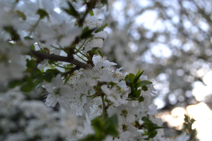 Blossom - Skye's Drawings