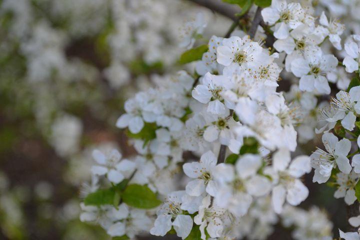 White Flowers. - Skye's Drawings
