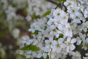 White Flowers.