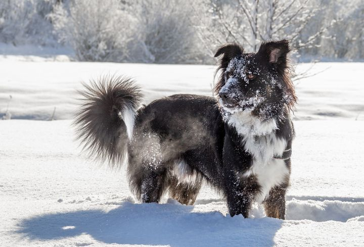 Dog in snow - Tommer Rissin