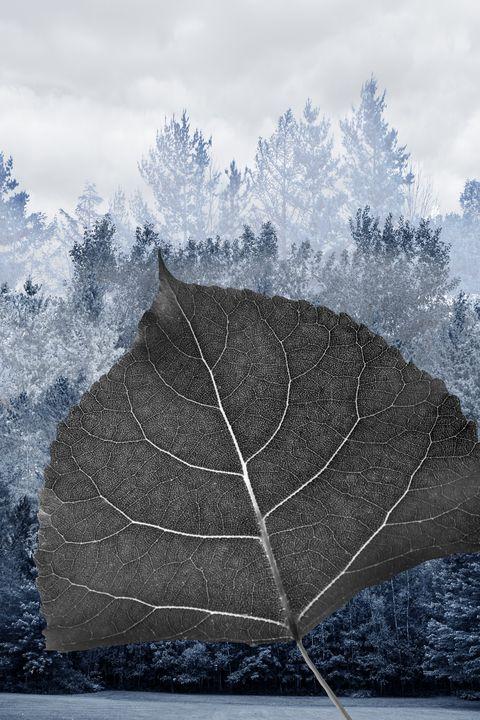 Leaf of poplar cottonwood - Francois Lariviere