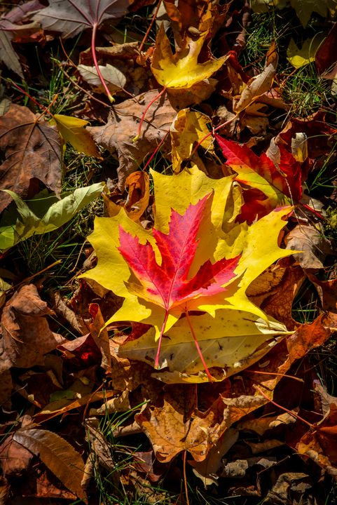 Red and yellow maple leaves in fall - Francois Lariviere