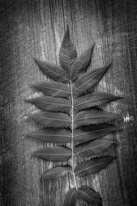 Branch of Ribbed Fern Leaves on Wood