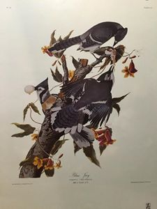 Blue Jay, Corvus Cristatus