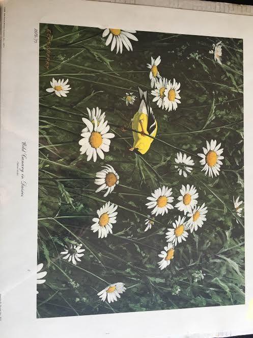 Wild Canary in Daisies - Mary Svetlana Prosser