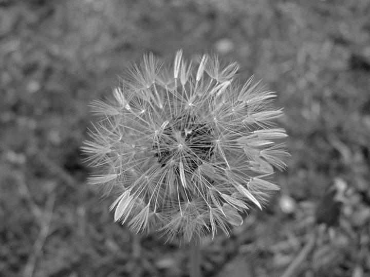 Dandelion Fluff - Rebeccas Dream