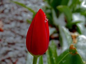Red Tulip in Snow