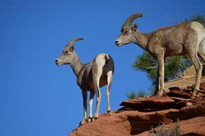 Zion's Big Horn Rams