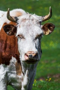 King Cow