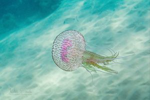 Mauve Stinger Jellyfish - Meir Ezrachi Nature & Underwater Photography