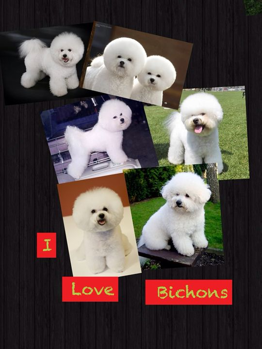 Bichons - Photography By SusanInce