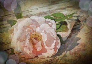 The forgotten rose