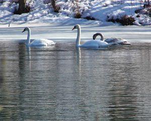 Trois Swans