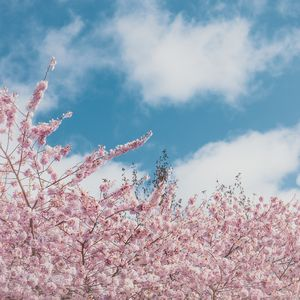 Cherry blossoms #1
