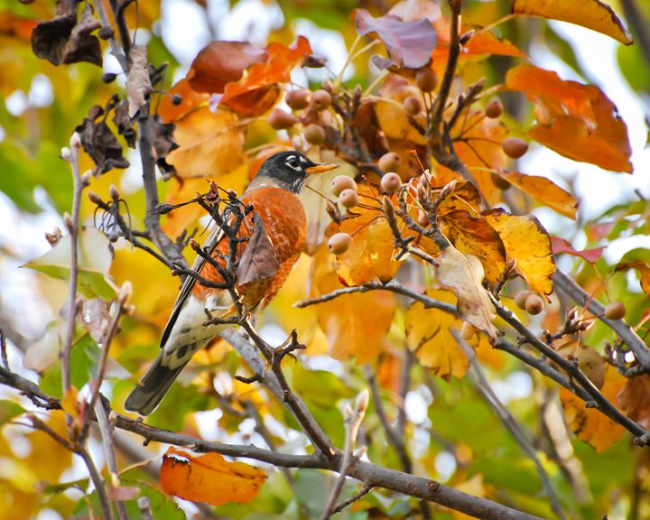 Autumn Robin - New River Nature
