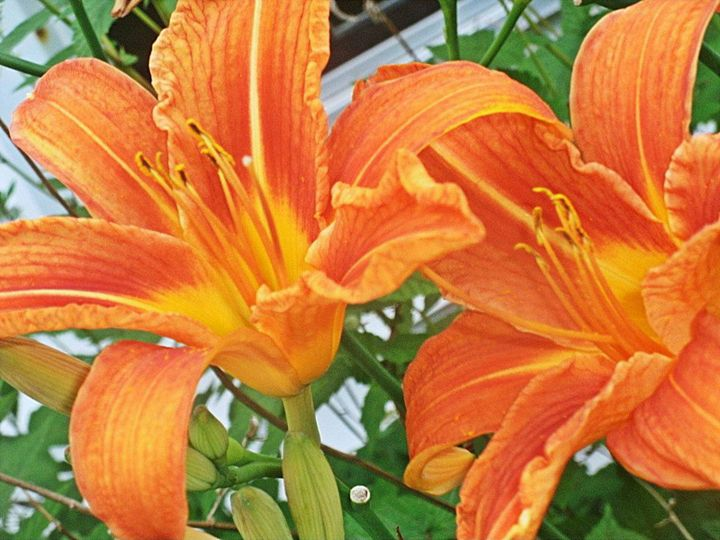Tiger Lilies - Drawing,Painting&Photography