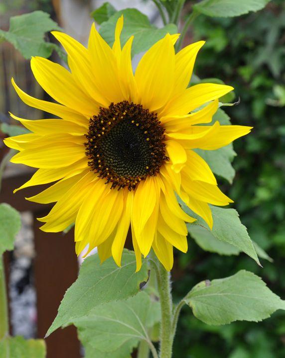 beautiful sunflower - suzydoodle