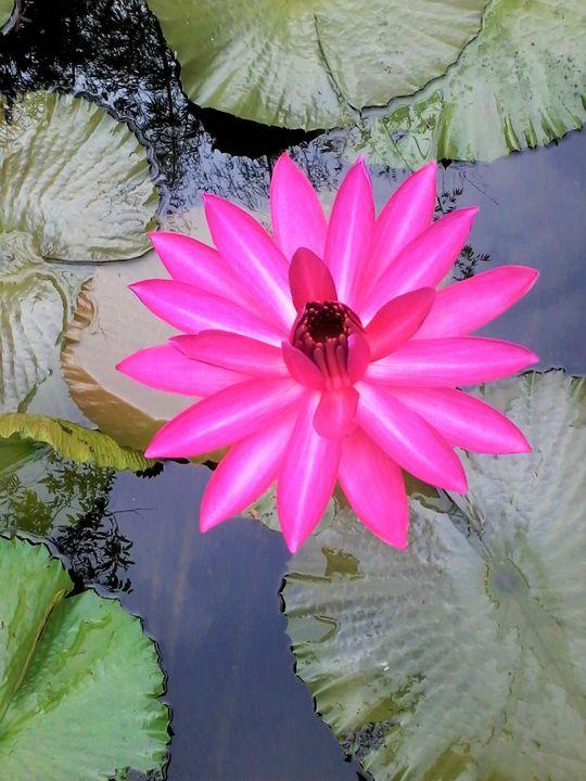 pink lotus - Niya Gowthami
