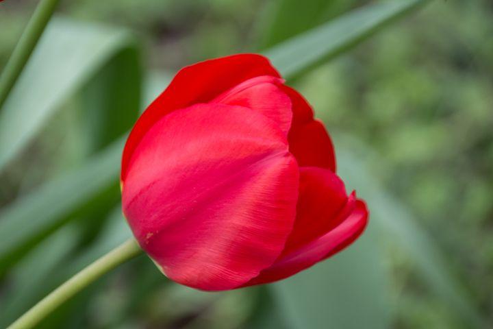 one red flower macro isolated - hanoh iki