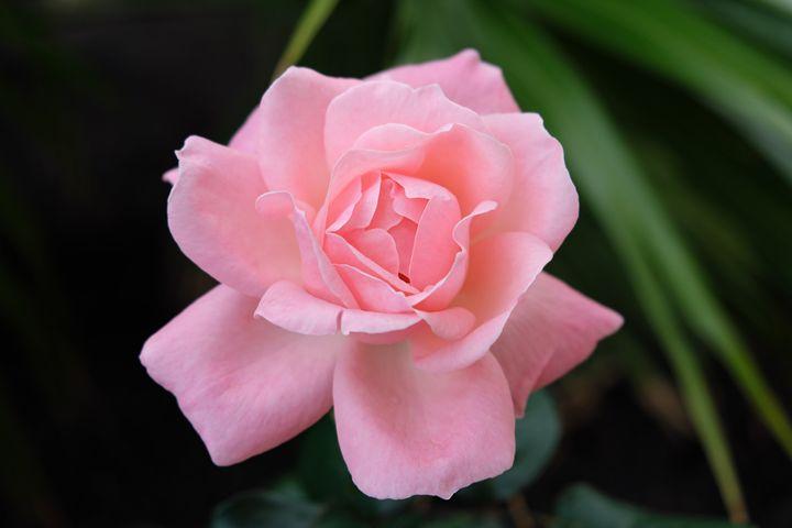 pink rose flower natural background - hanoh iki