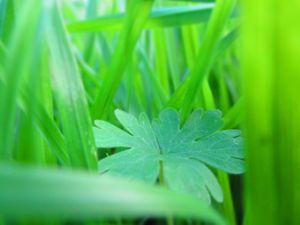 clover in a garden