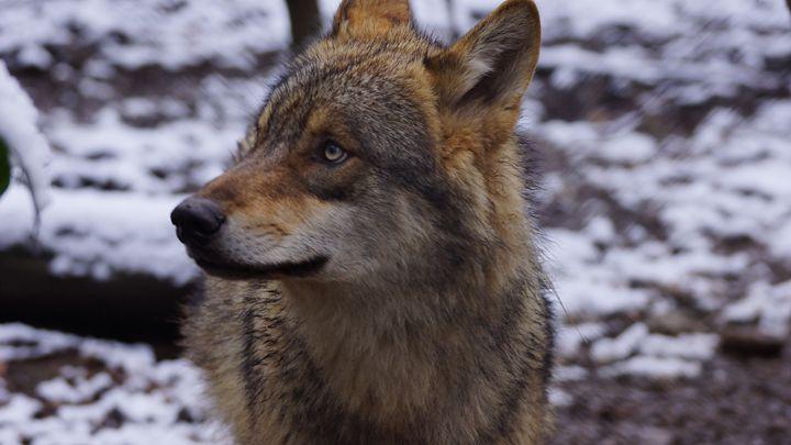 Européen Wolf - Leyab Outdoor