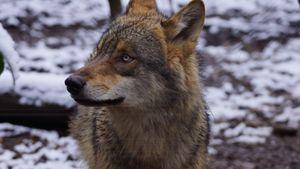 Européen Wolf