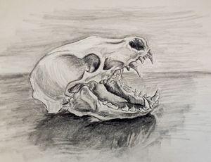 Badger Skull Study