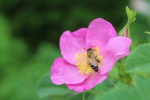 Wild Rose Bee