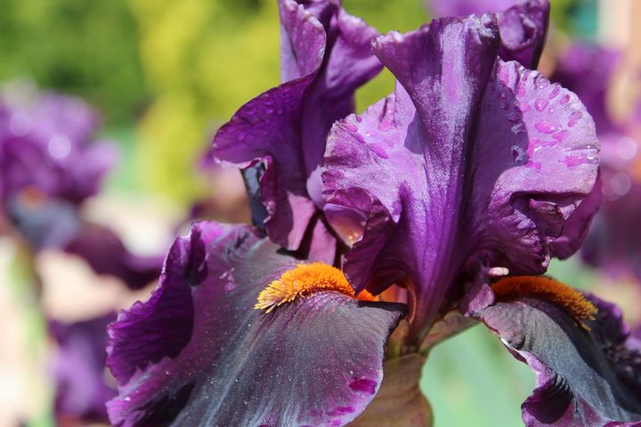 Purple Iris - WidowMaker