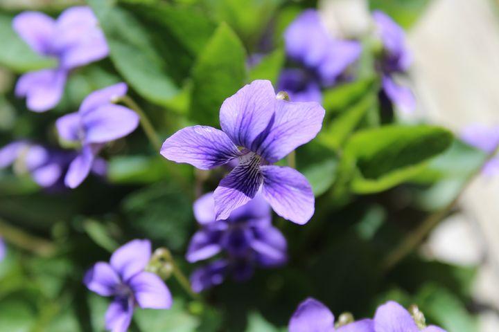 Violets - WidowMaker