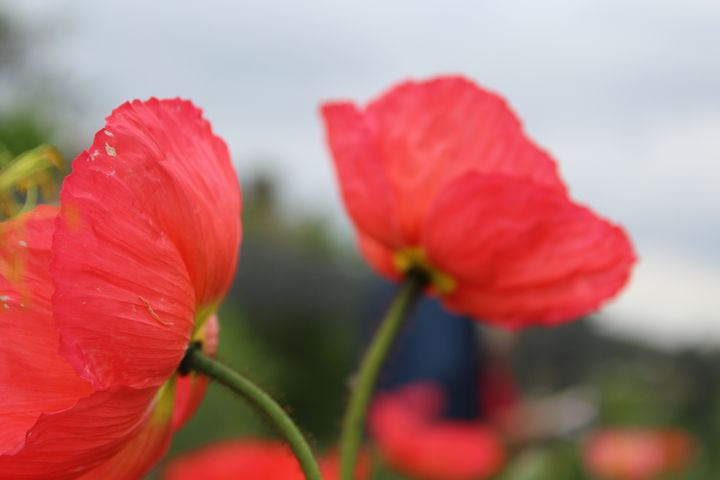 Twin Poppies - WidowMaker