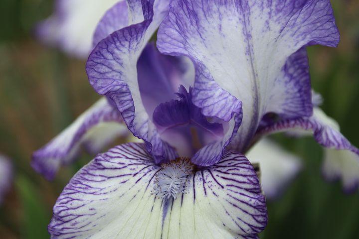 Stained Iris - WidowMaker