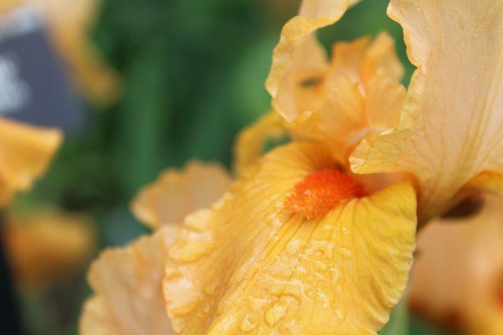 Yellow Iris - WidowMaker