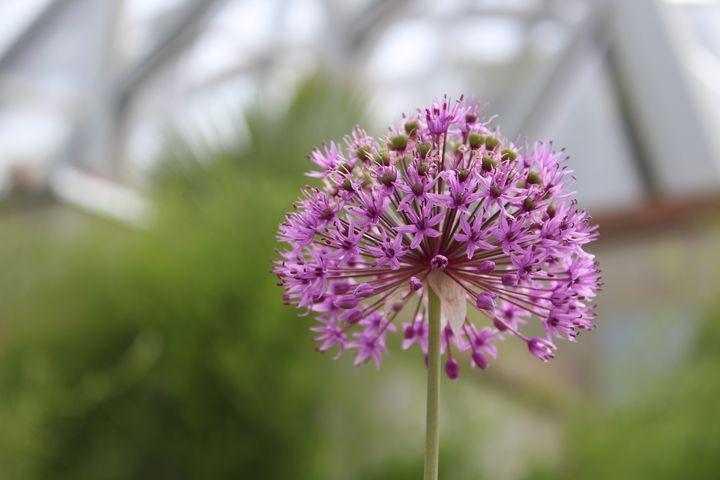 Allium - WidowMaker