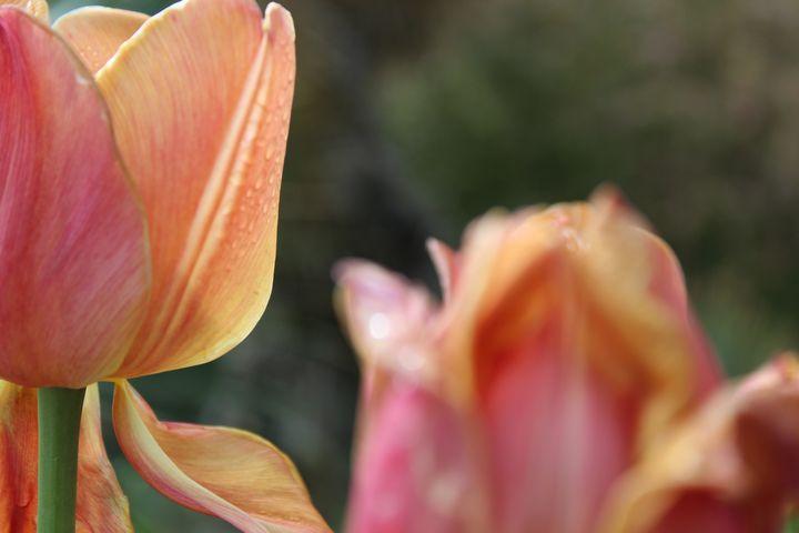 Tulips - WidowMaker