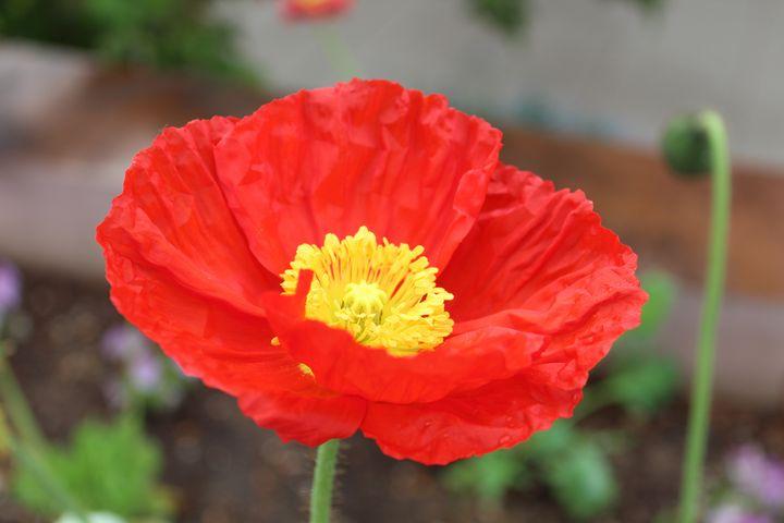 Red Poppy - WidowMaker