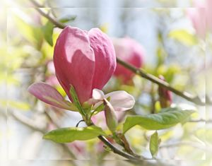 DREAMY MAGNOLIA - MY FLORAL WORLD