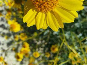 Desert daisy in the sun