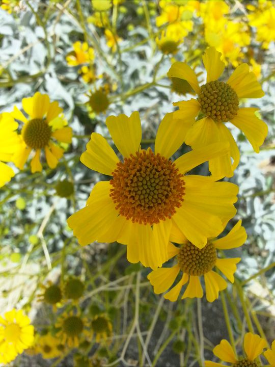 Daisies in the desert - Jeremy