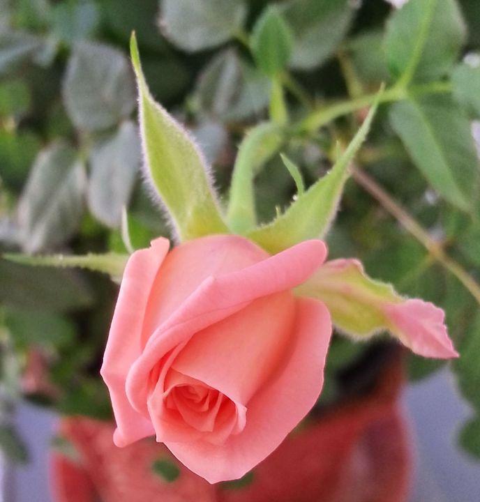Rosebud - Jeremy