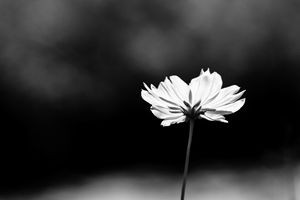 Flower portrait - black and white