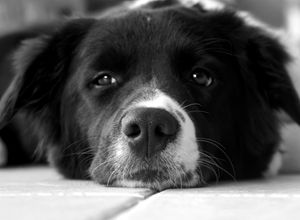 Border Collie in Black and White - Katie Truppo Photography