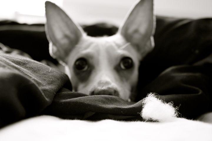 Chihuahua - Anthea
