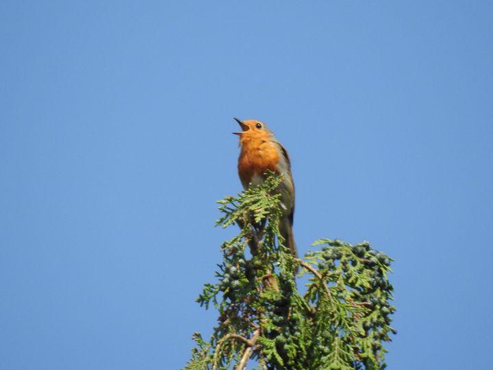 Robin Singing - CreativeEye