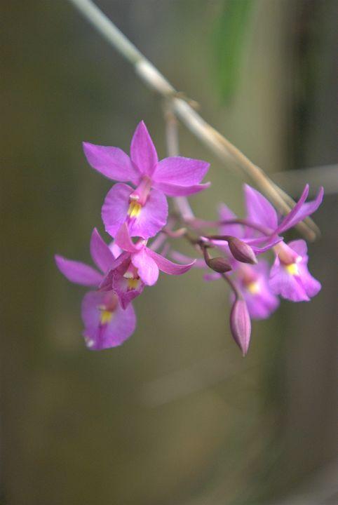 Purple Orchid - Van Soestberg