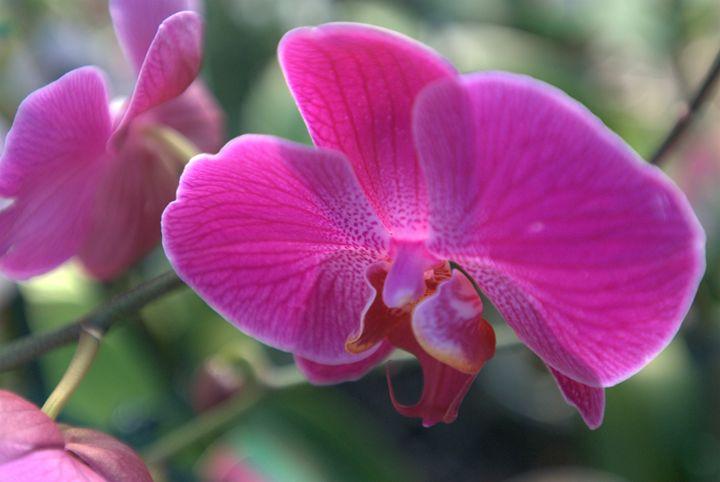 Magenta Orchid - Van Soestberg